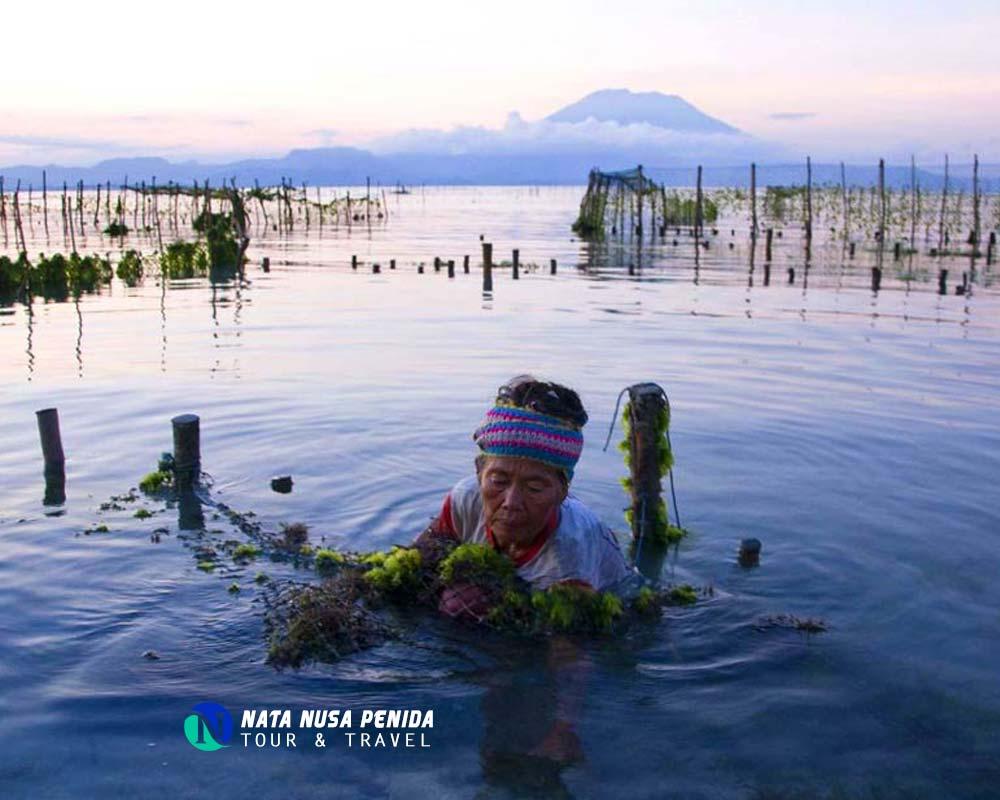 Rumput Laut Nusa Lembongan